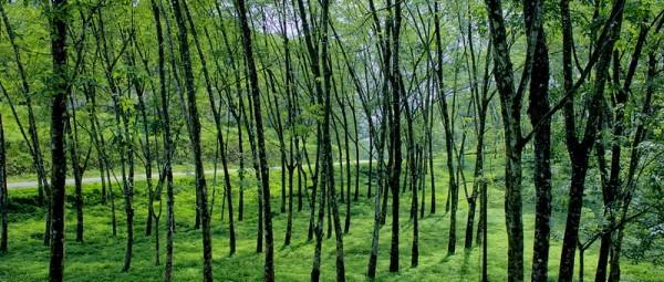 Sri Lanka rubber trees